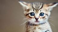 Avustralya 2020'ye kadar 2 milyon kediyi öldürecek