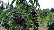 Kansere karşı süper meyve! Aronia