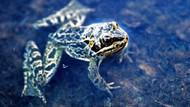 Dünyanın ötmeyen tek kurbağası Niğde'de yaşıyor