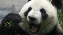 Nesli tükenmekte olan pandalar 10 yıl sonra çiftleşti!