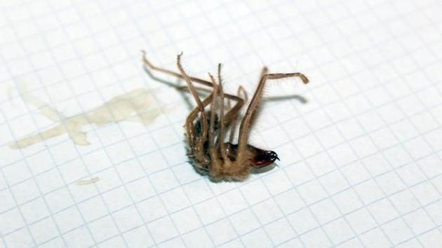 Sarıkız örümceği vatandaşların kabusu oldu