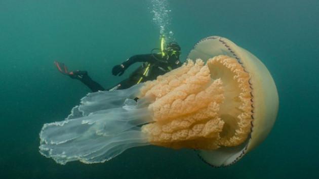 İnsan büyüklüğünde dev bir denizanası görüldü!