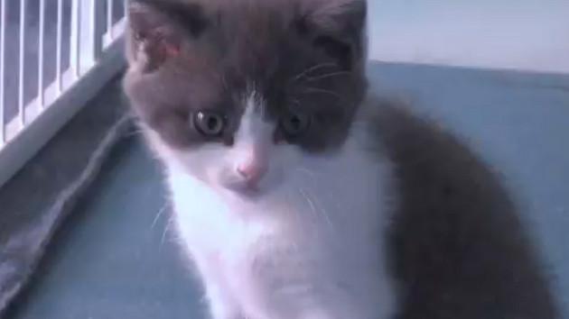 Ölen kedisini 35 bin dolara klonlattı