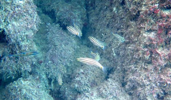 Kardinal balığı Antalya denizlerinde ilk kez görüldü