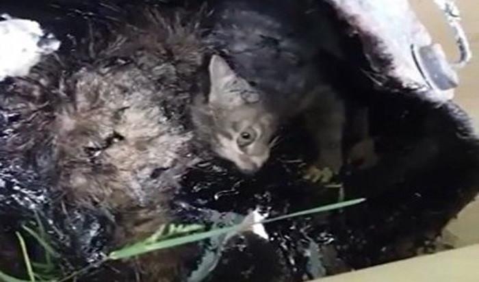 Kedileri zift kovasına hapsettiler