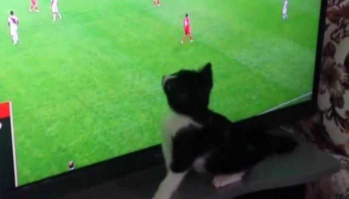 Dünya Kupası izleyen fanatik kedi görenleri şaşırtıyor