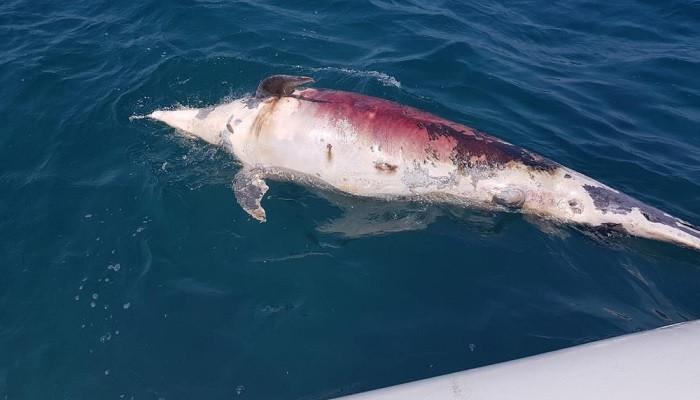 İzmir'de vicdansızlar yunus balığını ateş ederek öldürdü