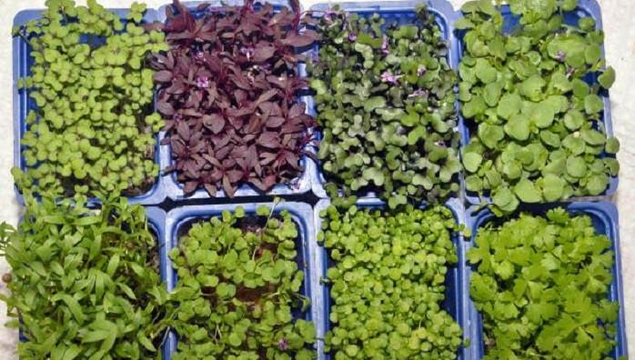 10 gram mikro ürün 15-20 kilo normal sebzedeki vitamini sağlıyor